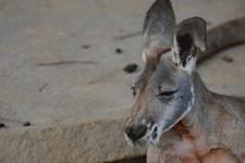 多摩動物公園のカンガルーの画像005