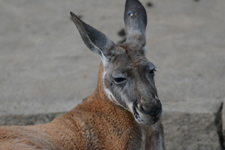 多摩動物公園のカンガルーの画像007