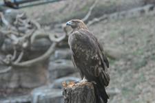 多摩動物公園のイヌワシの画像001