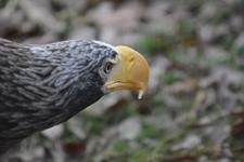 多摩動物公園のオオワシの画像001