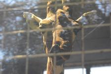 多摩動物公園のキリンの画像001