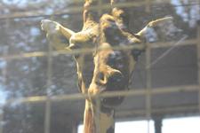多摩動物公園のキリンの画像002