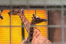 多摩動物公園のキリンの画像003