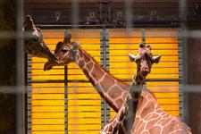 多摩動物公園のキリンの画像004