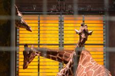 多摩動物公園のキリンの画像005