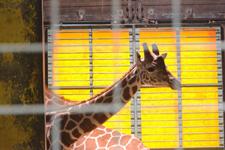 多摩動物公園のキリンの画像006