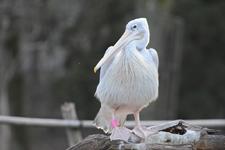 多摩動物公園のモモイロペリカンの画像002