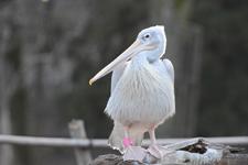 多摩動物公園のモモイロペリカンの画像003