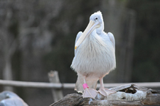 多摩動物公園のモモイロペリカンの画像004
