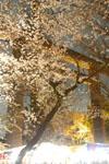 千鳥ヶ淵の満開の夜桜の画像002