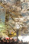 千鳥ヶ淵の満開の夜桜の画像003