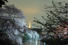 千鳥ヶ淵の満開の夜桜の画像009