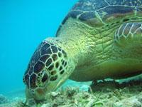 沖縄のアカウミガメの画像001