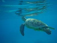 沖縄のアカウミガメの画像002