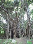 ガジュマルの木の画像001