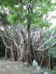 ガジュマルの木の画像002