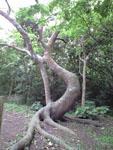 ガジュマルの木の画像003