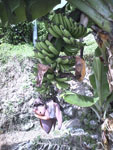 沖縄のバナナの花の画像002