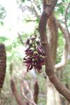 ガジュマルの木の花