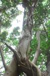 ガジュマルの木の画像005