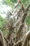ガジュマルの木の画像006