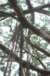 ガジュマルの木の画像007