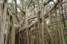 ガジュマルの木の画像009