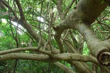 ガジュマルの木の画像013