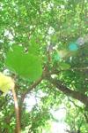 ガジュマルの木に絡むツタの画像004