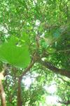 ガジュマルの木に絡むツタの画像005