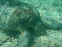 沖縄のアカウミガメの画像003