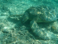 沖縄のアカウミガメの画像004