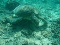 沖縄のアカウミガメの画像005