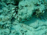 沖縄の海のウツボ