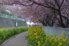 三崎河津桜の画像001