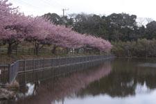 三崎河津桜の画像002