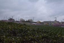 三崎河津桜の画像003