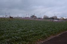三崎河津桜の画像004