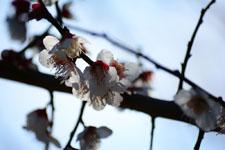 白梅の花の画像003