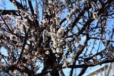 白梅の花の画像007