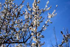 白梅の花の画像009