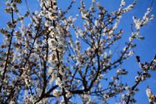 白梅の花の画像011