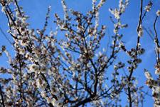 白梅の花の画像013