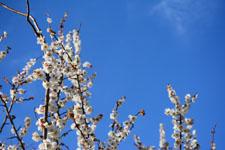 白梅の花の画像015