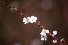 ユキヤナギの花の画像001
