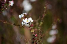 ユキヤナギの花の画像002