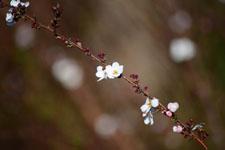 ユキヤナギの花の画像003
