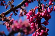 ユキヤナギの花の画像004
