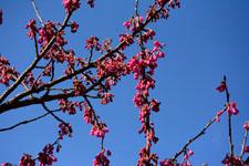 ユキヤナギの花の画像005