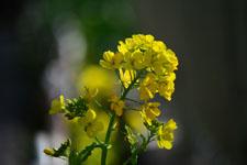 菜の花の花の画像002
